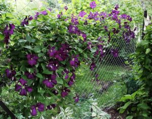 забор из сетки рабицы, декорированный растениями